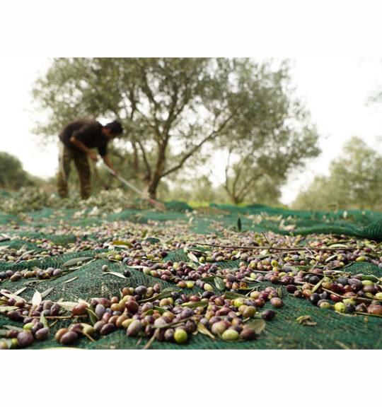 elaiosygomidis-dixtya-olivenet-1